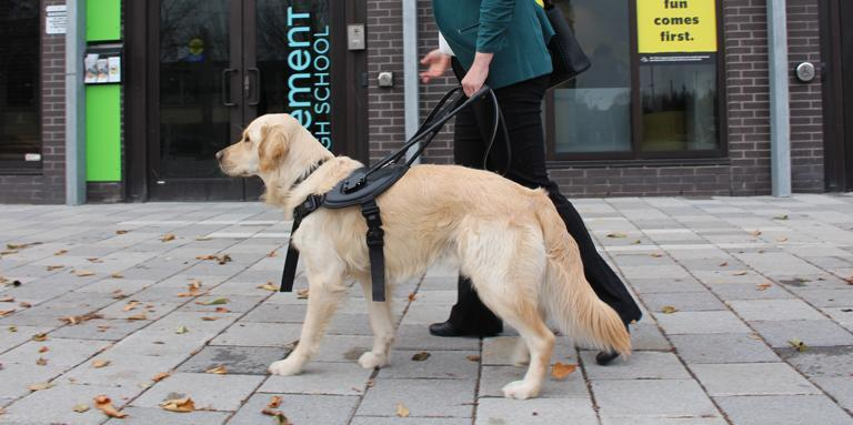 A woman walks with her guide dog. She is holding on to its harness with her left hand.