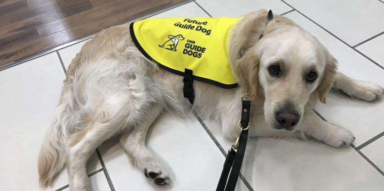 CNIB Guide Dog wearing yellow vest