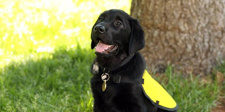 A black Lab/Golden Retriever cross puppy in a yellow vest sitting on the grass.