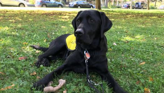 A black Guide Dog in training in a yellow vest with a chew toy.