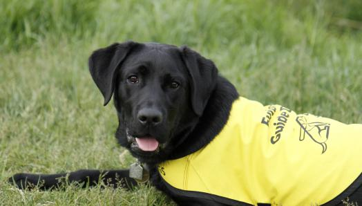 "A young black Labrador-Retriever laying on his belly in the grass, wearing a yellow ""Future Guide Dog"" vest."