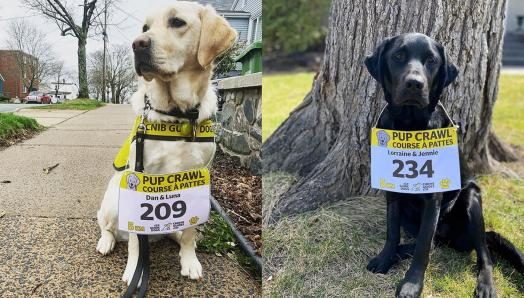 First photo is of a yellow Labrador-Retriever, sitting on a neighbourhood sidewalk, wearing a Pup Crawl race bib. Second photo is of a black Labrador-Retriever, sitting in front of a tree, wearing a Pup Crawl race bib.