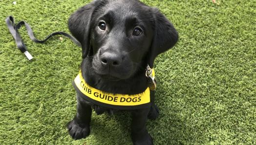 A nine-week-old black Labrador-Retriever puppy sitting on green turf, wearing a yellow Future Guide Dog vest and looking up at the camera.