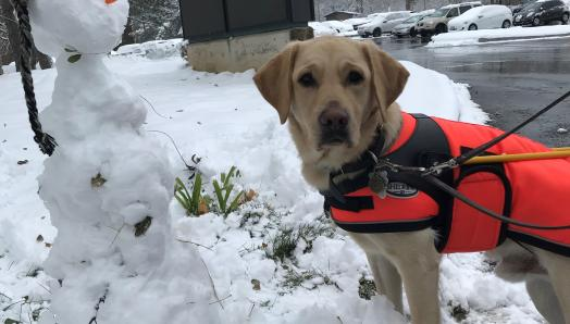 A yellow Labrador Retriever guide dog wearing a harness with a winter jacket underneath and boots on his paws; he is standing on snow next to a snowman.